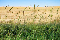 Agriculture background of weed grass with blurred field farm on. Agriculture background of weed grain grass with blurred field farm on the background royalty free stock image