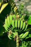 Agriculture, Banana, Branch, Bunch Royalty Free Stock Photography