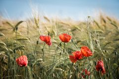 Agriculture, Barley, Bloom Royalty Free Stock Images