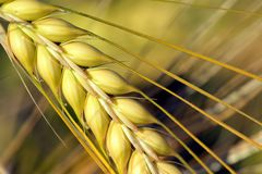 Agriculture, Barley, Field Royalty Free Stock Image