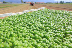 Agriculture, basil field plantation Royalty Free Stock Photo