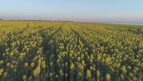 Agriculture, beau champ de floraison de viol en fleurs jaunes, levé aérien clips vidéos