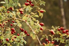 Agriculture, Berry, Branch royalty free stock image