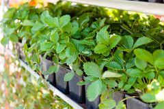 Agriculture berry plant in container royalty free stock images