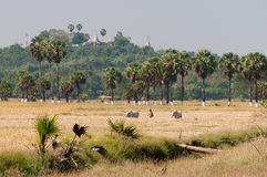 Agriculture at Bilu Island, Myanmar Royalty Free Stock Photo