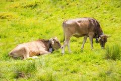 Agriculture biologique avec les vaches heureuses Photographie stock libre de droits