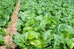 Agriculture biologique, chou de céleri s'élevant en serre chaude Image stock