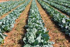 Agriculture biologique, chou de céleri s'élevant en serre chaude greenhouse Photo libre de droits