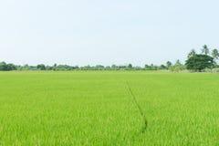 Agriculture biologique de gisement de riz de la nature image stock