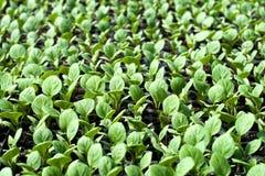 Agriculture biologique, jeunes plantes s'élevant en serre chaude images libres de droits