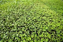 Agriculture biologique, jeunes plantes s'élevant en serre chaude Image stock