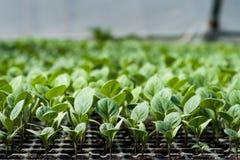 Agriculture biologique, jeunes plantes s'élevant en serre chaude Image libre de droits