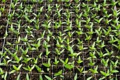 Agriculture biologique, jeunes plantes s'élevant en serre chaude Photo libre de droits