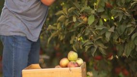 Agriculture biologique, moissonnant le fruit dans le jardin Plan rapproché de moitié du corps, mains déchirant des pommes des bra banque de vidéos