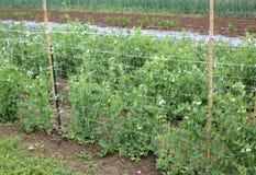 Agriculture biologique : plante verte des pois dans le vegetagle large garde images libres de droits