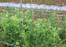 Agriculture biologique : plante verte des pois dans le vegetagle large garde image libre de droits