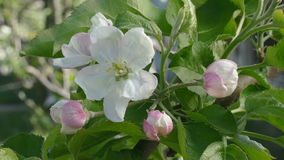 Agriculture, blossoming apple tree flowers in spring stock video