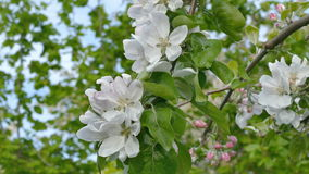 Agriculture, blossoming apple tree flowers in spring stock video footage