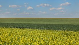 Rapeseed and wheat fields in spring Royalty Free Stock Photos
