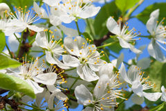 Agriculture blossoming of flowers of cherry on a tree Stock Images