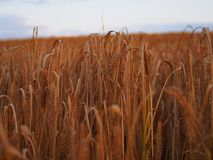 Agriculture, Blur, Cereal Stock Photo