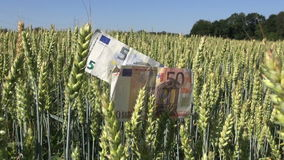 Agriculture business concept – euro banknotes  with wheat ears stock footage
