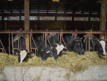 Agriculture Business: dairy cows in the modern cor Royalty Free Stock Photos