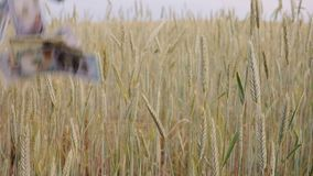 Agriculture business money concept on rye field. falling USA usd dollar banknote on rye ears. slow motion. Agriculture business money concept on rye field stock video footage