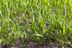 Agriculture céréales Ressort Photos libres de droits