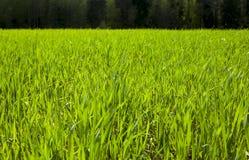 Agriculture céréales Ressort Photo libre de droits