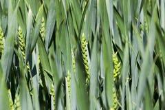 Agriculture céréales Ressort Photographie stock libre de droits
