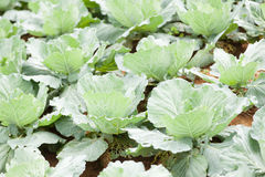 Agriculture cabbage Royalty Free Stock Photo