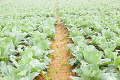 Agriculture cabbage Stock Photography