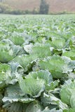 Agriculture cabbage Stock Photos