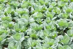 Agriculture cabbage Royalty Free Stock Images