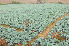 Agriculture cabbage Stock Photo