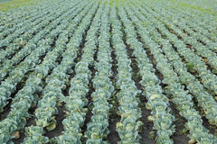 Agriculture, cabbage field Stock Photography