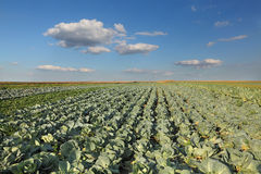 Agriculture, cabbage field Royalty Free Stock Photography