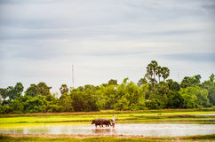 Agriculture in Cambodia- water buffalos in a rice paddy outside of Angkor Wat, Siem Reap, Cambodia. September 3, 2015 Stock Photography