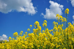 Agriculture canola background Stock Photo