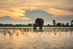 Agriculture, Carabao, Clouds Royalty Free Stock Image