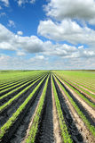 Agriculture, carrot field in summer Royalty Free Stock Photos