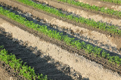Agriculture, carrot plant in field Stock Photography