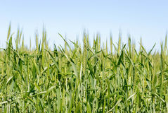 Agriculture. A ceral crop in head growing in a rural field with a blue sky Royalty Free Stock Photo