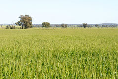 Agriculture. A cereal crop maturing in a rural paddock, with trees and sky in background Royalty Free Stock Images