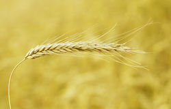 Agriculture, cereal plan and grain. Farm growing grain, harvest and farming stock photos