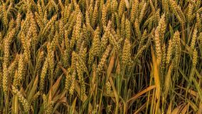 Agriculture, Cereals, Close-up Stock Image
