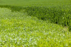 Agriculture. cereals. Spring Royalty Free Stock Photo