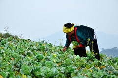 Agriculture, Chao Doi women. Royalty Free Stock Images