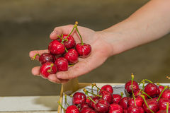 Agriculture - Cherry orchard Royalty Free Stock Image